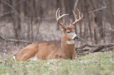 White-tailed deer bedding down