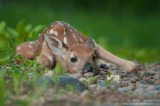 Whitetailed deer fawn concealment pose