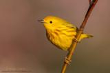 Yellow warbler on dogwood stick