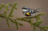 Yellow-rumped warbler on pine