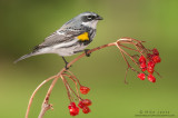 Yellow-rumped warbler on small red berries