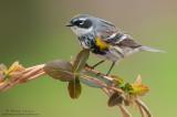 Yellow-rumped warbler on emerging vine