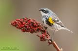 Yellow-rumped warbler on Sumac