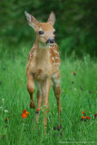 Fawn foot up