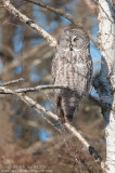 Great Gray Owl in tangled Birch