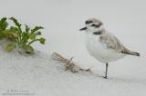 Snowy Plover tight near plant
