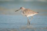Willet (winter plumage)