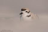 Snowy Plover sand dunes blur