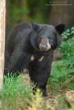 Black Bear strolling in