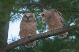 Great-Horned Owl babies in tree