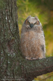 Great-Horned owlet last light in pines