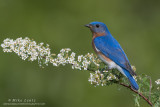 Bluebird on Spirea