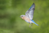 Bluebird female in flight