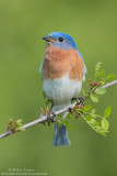 Bluebird on prickly bush