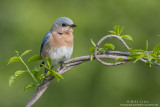 Bluebird (female) on vines