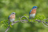 Bluebird couple on vines