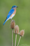 Bluebird on Teasel