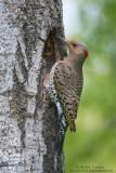 Northern Flicker at nest