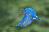 Bluebird upward flight