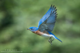 Bluebird wings up in flight
