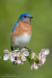 Bluebird on pink blossums