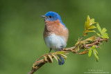 Bluebird on emerging Sumac