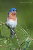 Bluebird verticle on white pines
