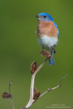 Bluebird on Burdock