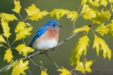 Bluebird in emerging Oak