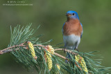 Bluebird horizontal on pines