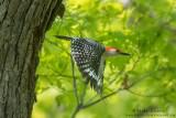 Red-bellied Woodpecker leaves nest