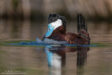 Ruddy Duck bubbling display