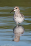 White-rumped Sandpiper verticle reflection