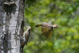 Northern Flicker pair at nest