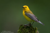 Prothonotary Warbler on Mossy lump