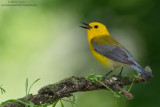 Prothonotary Warbler blasts away