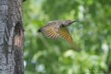 Northern Flicker takes flight