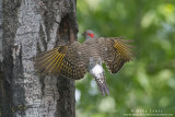 Northern Flicker wide wings at nest hole