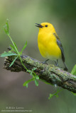 Prothonotary Warbler verticle on perch