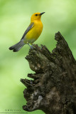 Prothonotary warbler on stump