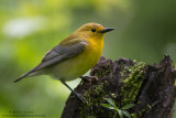Prothonotary warbler (female) on log