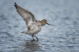 White-Rumped Sandpiper wings up