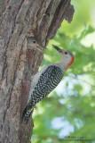 Red-Bellied Woodpecker feeds baby