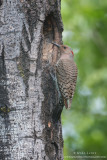 Northern Flicker at nest hole
