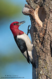 Red-Headed Woodpecker at nest