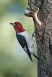 Red-Headed Woodpecker posed at nest