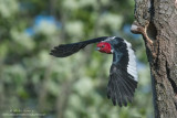 Red-Headed Woodpecker erupts from cavity