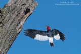 Red-Headed Woodpecker flight up to the nest