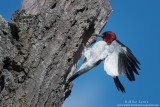 Red Headed woodpecker lands at nest