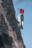 Red-Headed Woodpecker on burnt tree